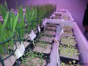 Kompostuntersuchung durch Indikator-Pflanz-Versuche